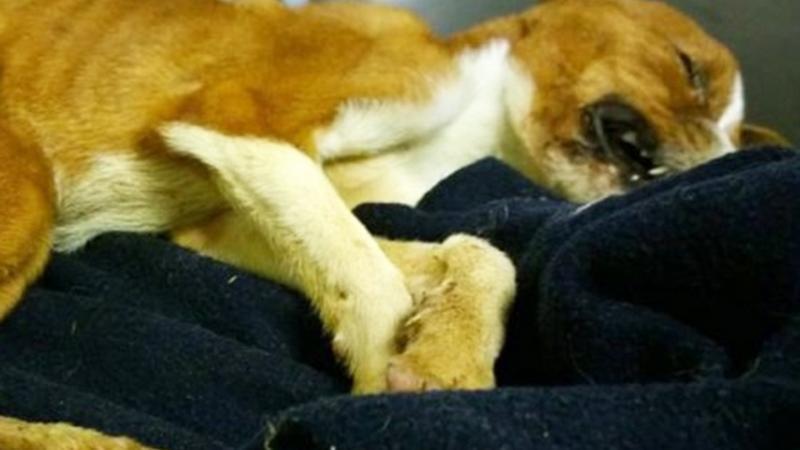 segít a beagle fogyni