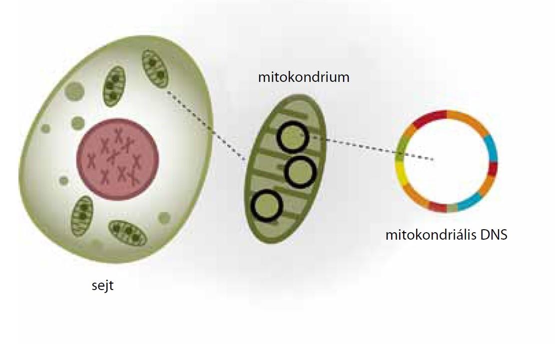 mitokondriumok funkció fogyás