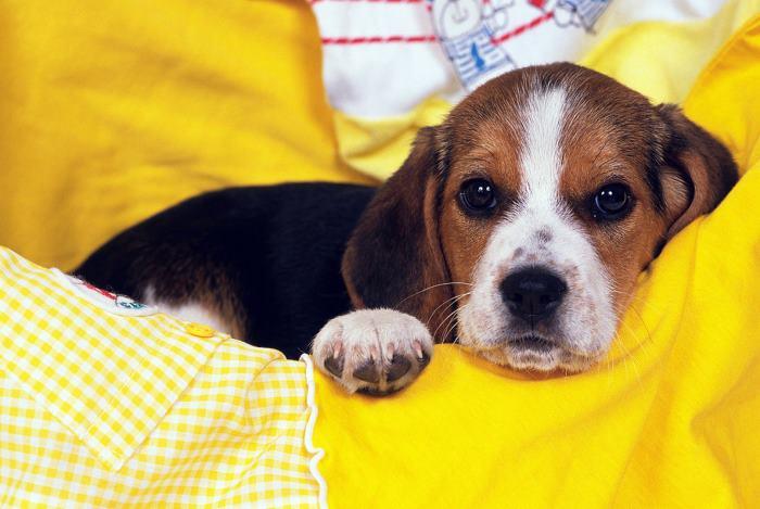 az elhízott beagle lefogy)