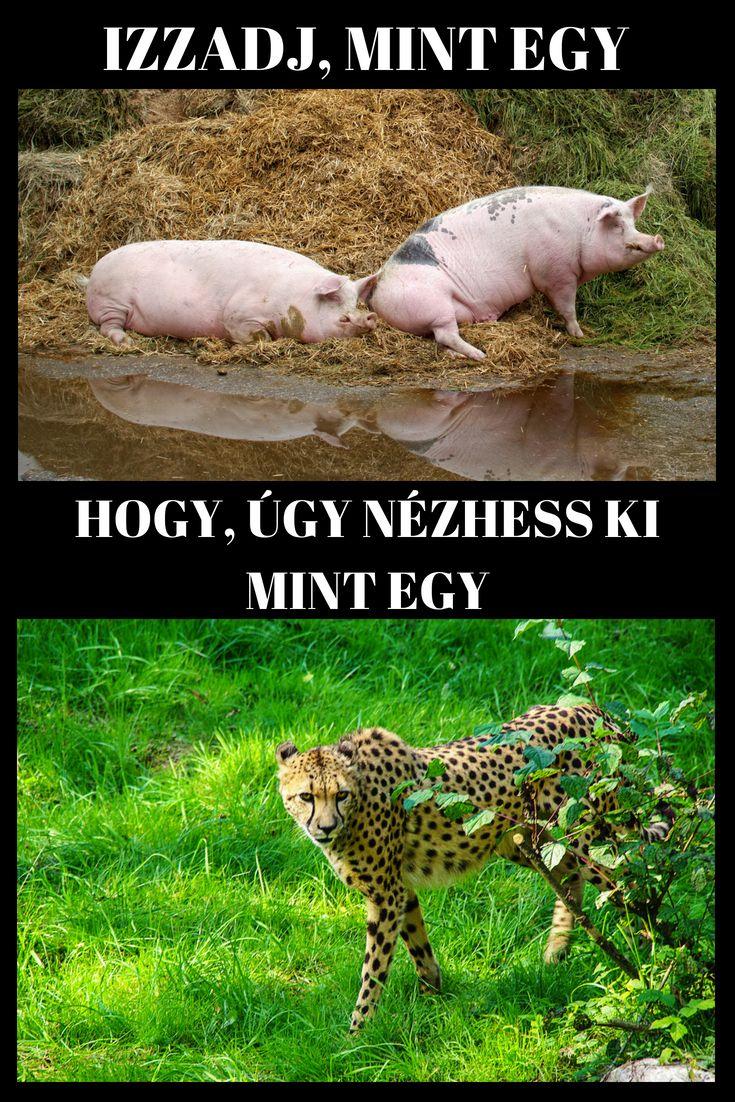 gepárd zsírégető)