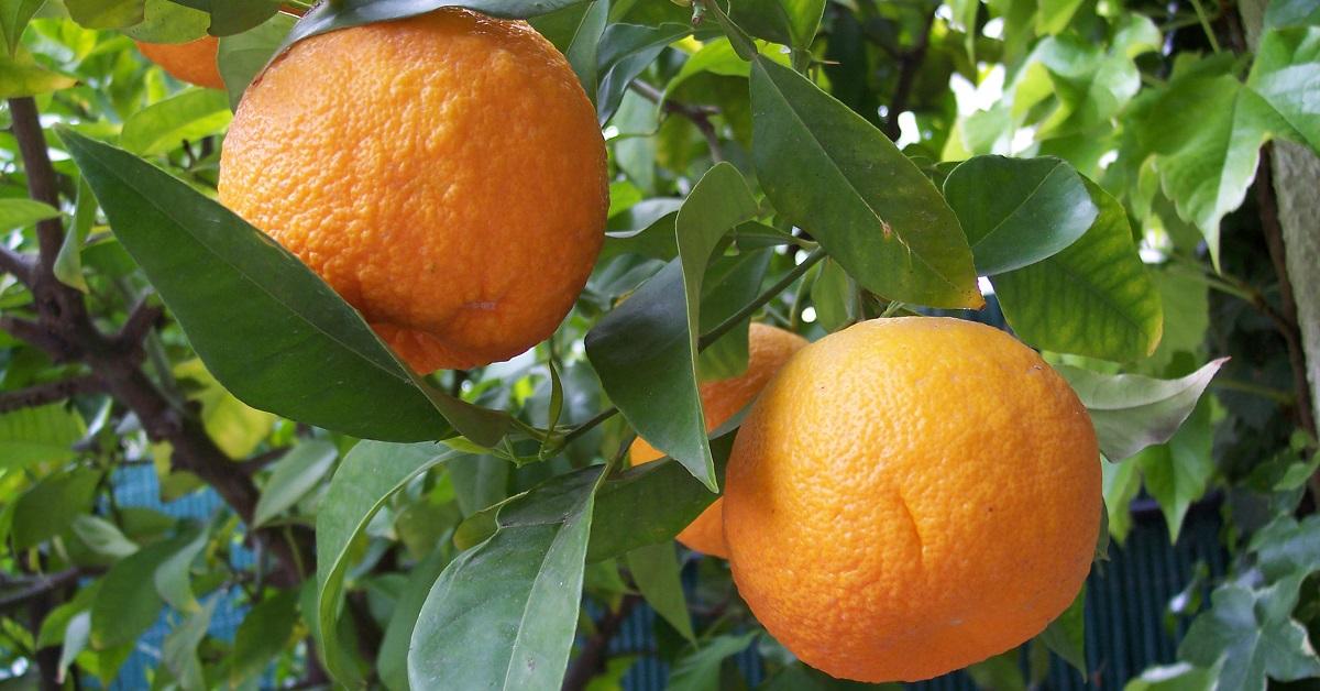 képes a citrus zsírt égetni)