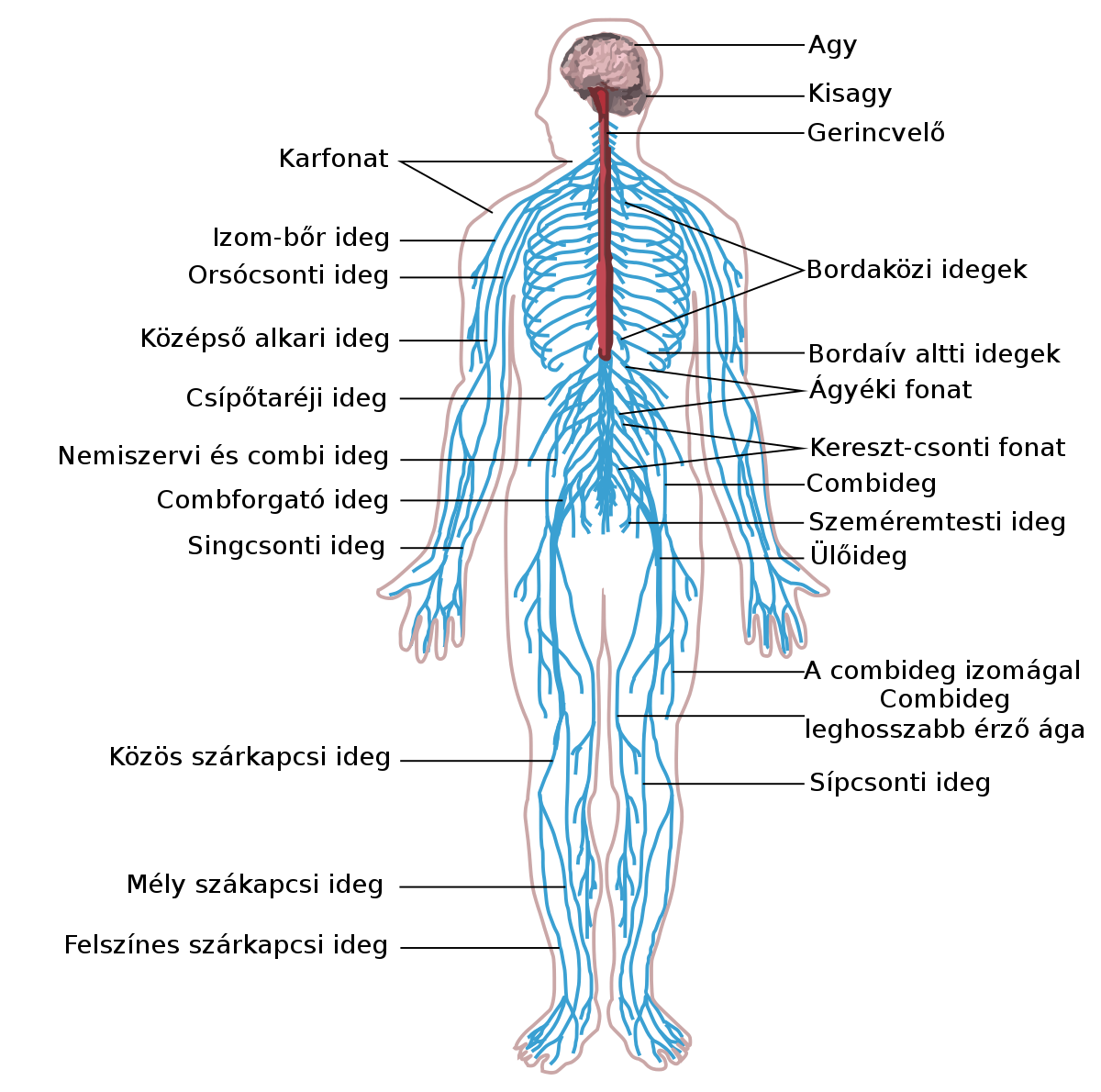 test vékony állószerv