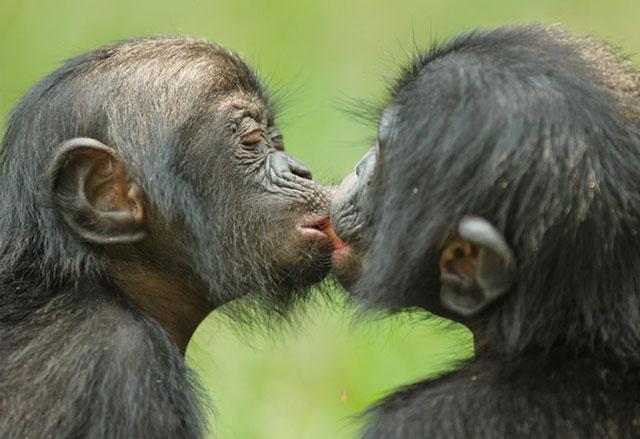 kövér majom fogyás