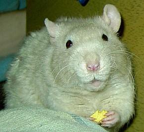 hogyan lehet, hogy a patkányom lefogyjon)