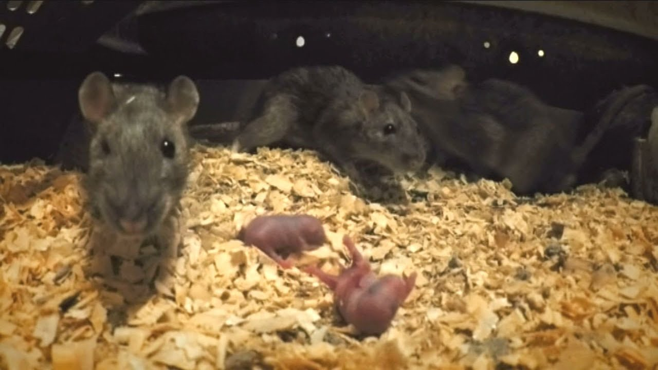 hogyan lehet a patkányom lefogyni