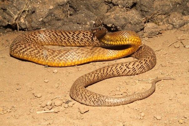 kígyó méreg fogyás