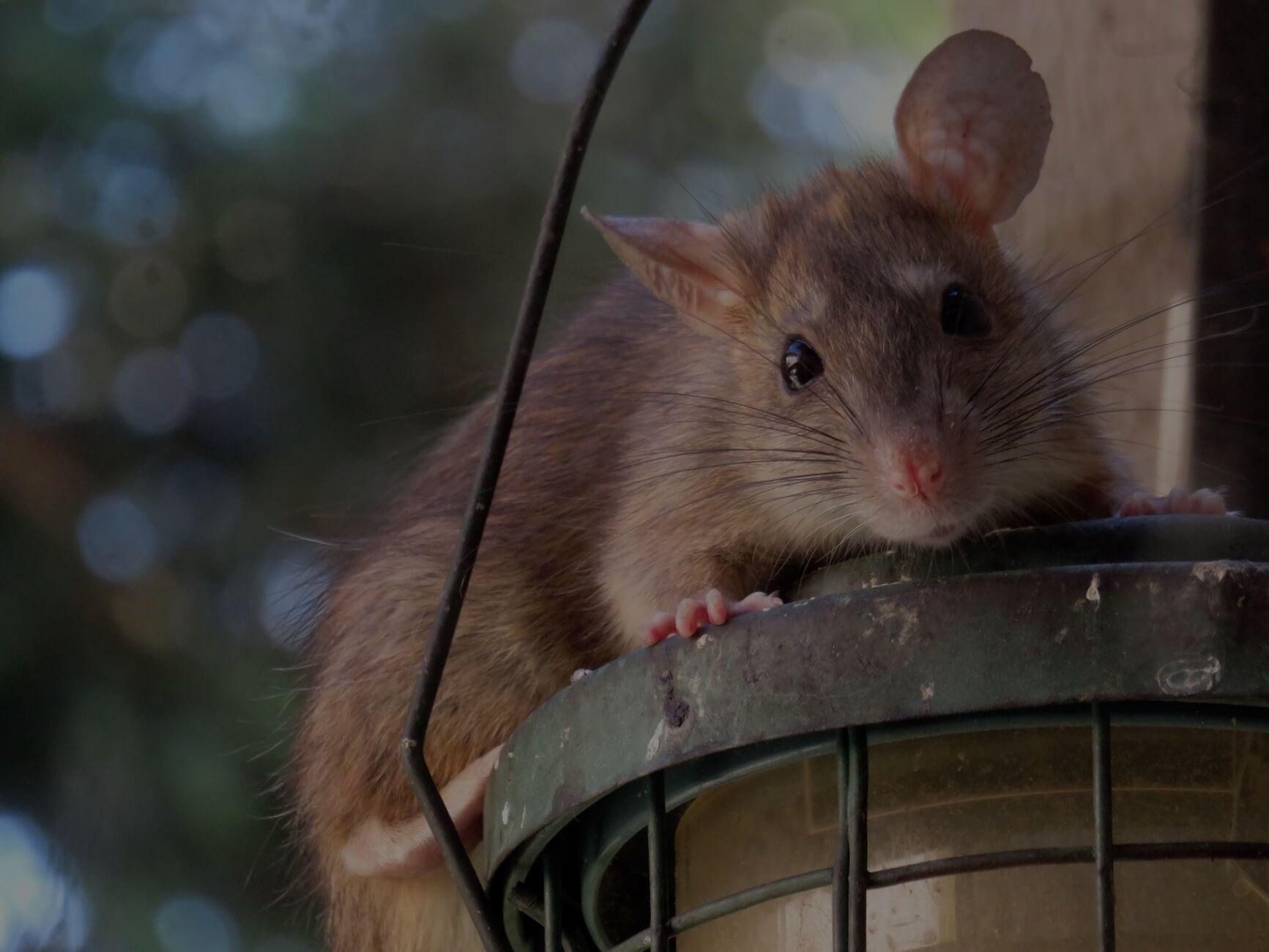 hogyan lehet, hogy a patkányom lefogyjon