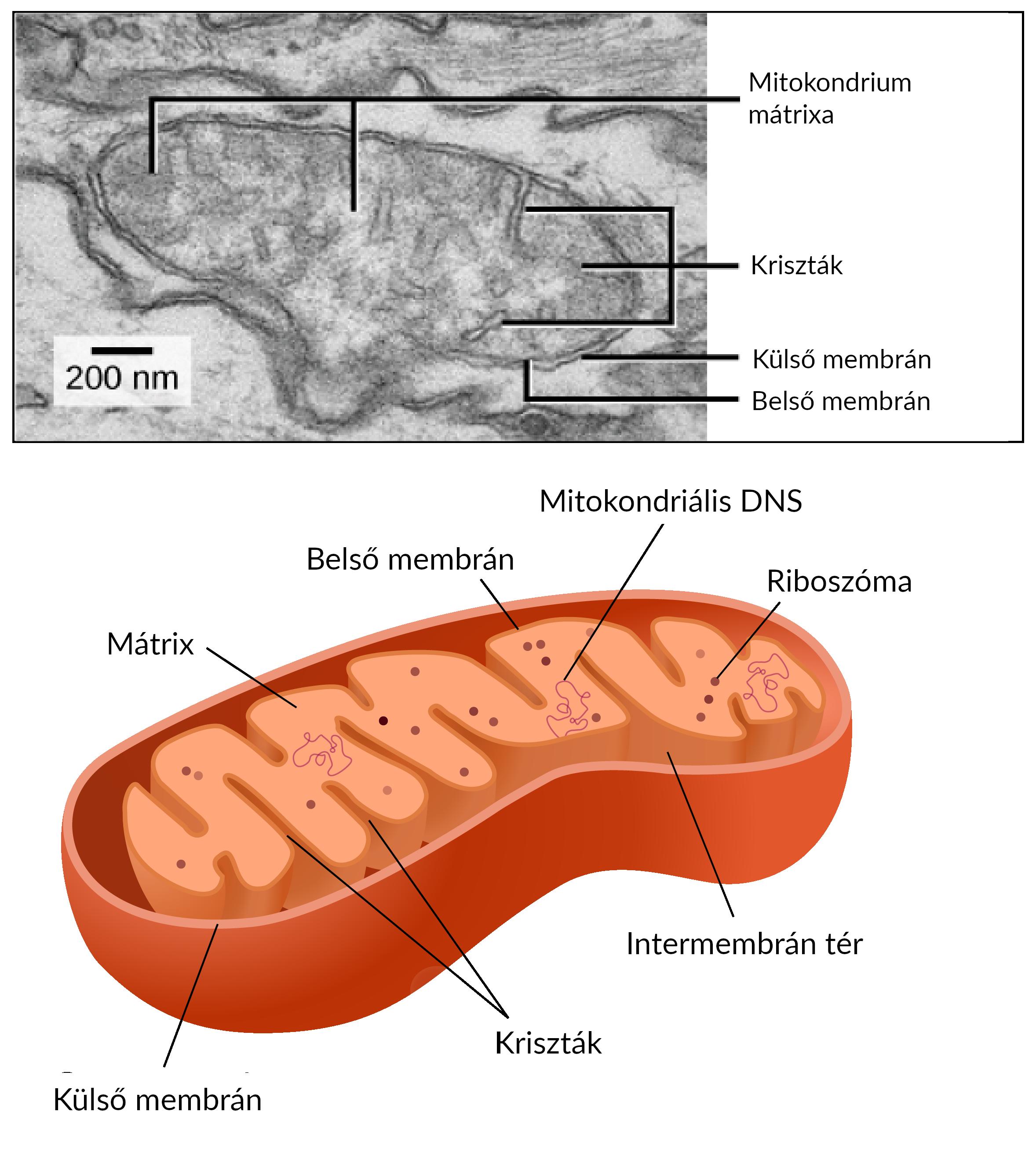mitokondriumok funkció fogyás)