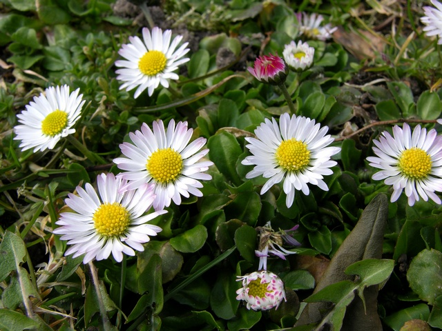 Százszorszép, virág vetőmag , Bellis perennis